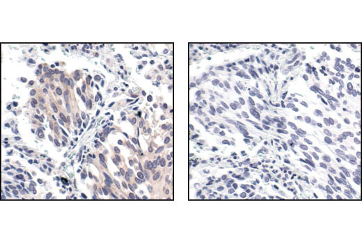 Immunohistochemistry Image 4: Phospho-eIF2α (Ser51) (119A11) Rabbit mAb