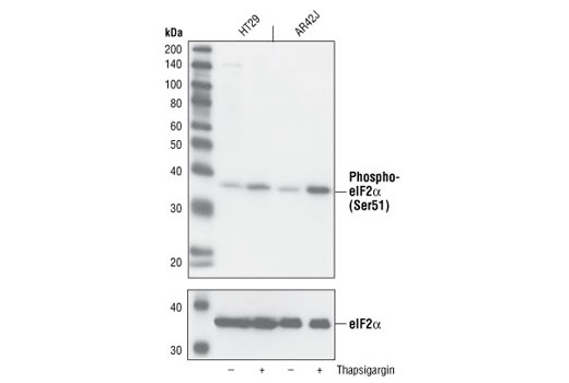Western blot analysis of extracts from HT29 (human) and AR42J (mouse) cells, untreated or thapsigargin-treated (300 nM, 30 min), using Phospho-eIF2alpha (Ser51) (119A11) Rabbit mAb (upper) or eIF2alpha Antibody #9722 (lower).
