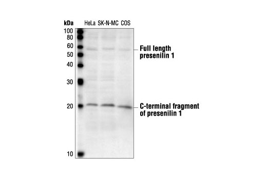 Western blot analysis of extracts from HeLa, SK-N-MC and COS cells, using Presenilin 1 Antibody.