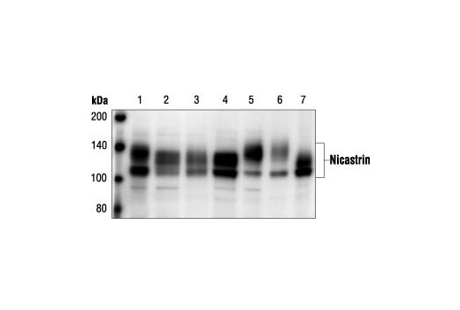 Western blot analysis of extracts from human (HeLa and SK-N-MC; lanes 1 and 2), monkey (COS; lane 3), mouse (Neuro 2A and L; lanes 4 and 5) and rat (PC12 and C6; lanes 6 and 7) cell lines, using Nicastrin Antibody.