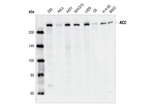 Western blot analysis of extracts from 293, HeLa, A431, NIH/3T3, L929, C6, H-4-IIE and BAEC cells, using Acetyl CoA Carboxylase Antibody.