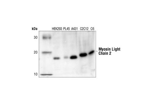 Rat Myosin Light Chain 2 Smooth Muscle Isoform - count 2