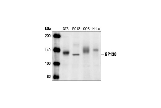 Western blot analysis of extracts from NIH/3T3, PC12, COS and HeLa cells, using GP130 Antibody.