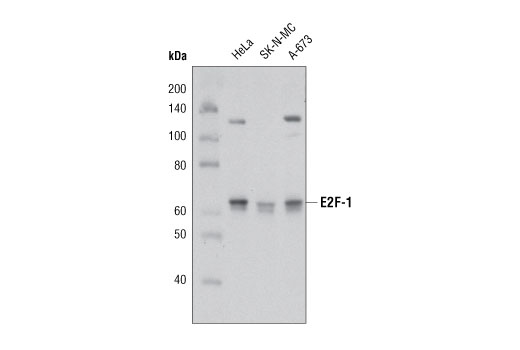 Western Blot analysis of extracts from HeLa, SK-N-MC, and A-673 cells using E2F-1 Antibody.