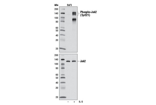Western blot analysis of extracts from BaF3 cells, untreated or treated with IL-3 (5 minutes), using Phospho-Jak2 (Tyr221) Antibody #3774 (top) or total Jak2 (D2E12) XP<sup>®</sup> Rabbit mAb #3230 (bottom).