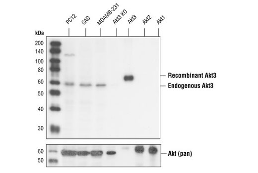 Western blot analysis of recombinant Akt1, Akt2 and Akt3 proteins, and extracts from MDA-MB-231 (human), CAD (mouse) and PC12 (rat) cells, using Akt3 (62A8) Rabbit mAb (upper) or Akt Antibody #9272 (lower). Recombinant Akt1, Akt2 and Akt3 are 6His-fusion proteins, MW=66 kDa.
