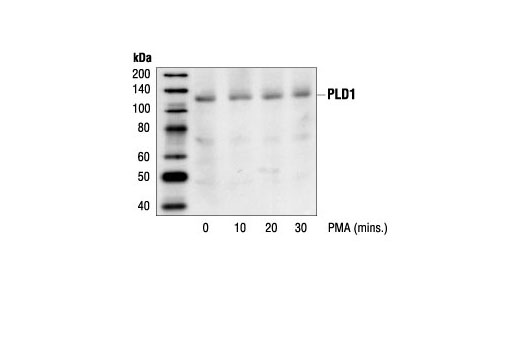 Polyclonal Antibody Immunoprecipitation Phosphoinositide Binding - count 20