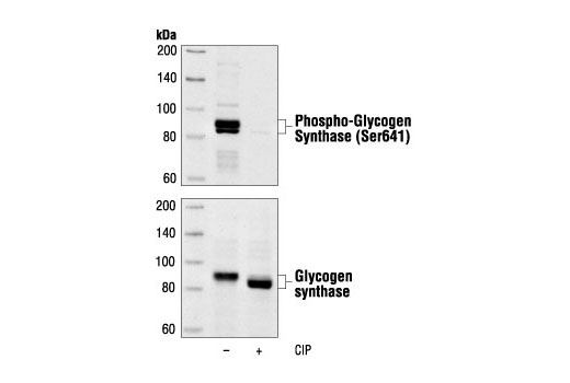 Polyclonal Antibody Western Blotting Glycogen Synthase - count 2