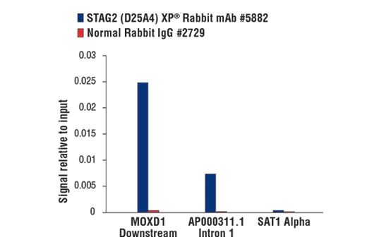 Chromatin immunoprecipitations were performed with cross-linked chromatin from HeLa cells and either STAG2 (D25A4) XP® Rabbit mAb or Normal Rabbit IgG #2729 using SimpleChIP® Plus Enzymatic Chromatin IP Kit (Magnetic Beads) #9005. The enriched DNA was quantified by real-time PCR using SimpleChIP® Human MOXD1 Downstream Primers #64848, human AP000311.1 intron 1 primers and SimpleChIP® Human α Satellite Repeat Primers #4486. The amount of immunoprecipitated DNA in each sample is represented as signal relative to the total amount of input chromatin, which is equivalent to one.