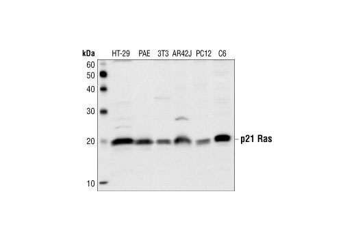 Western blot analysis of extracts from HT-29, PAE, NIH-3T3, AR42J, PC12 and C6 cell lysates,using Ras Antibody.