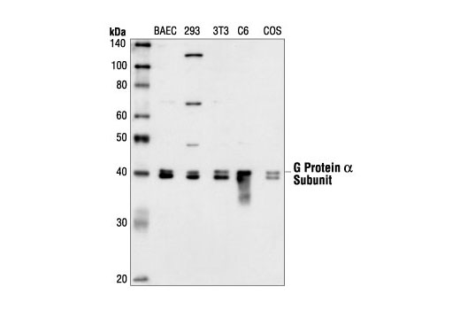 Western blot analysis of extracts from BAEC, HEK293, NIH/3T3, C6 and COS cells, using Gα (pan) Antibody.