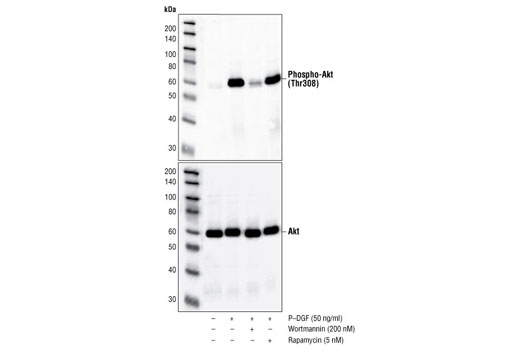 Western blot analysis of extracts from NIH/3T3 cells, untreated, PDGF-treated, or PDGF-treated after treatment with wortmannin and/or rapamycin as indicated, using Phospho-Akt (Thr308) (244F9) Rabbit mAb (upper) or Akt Antibody #9272 (lower).