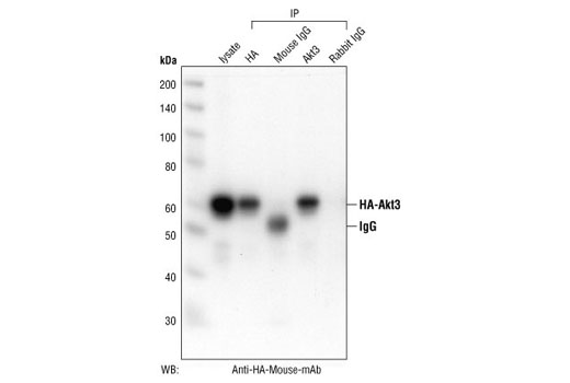 Polyclonal Antibody - Akt3 Antibody - Immunoprecipitation, Western Blotting, UniProt ID Q9Y243, Entrez ID 10000 #4059, Antibodies to Kinases