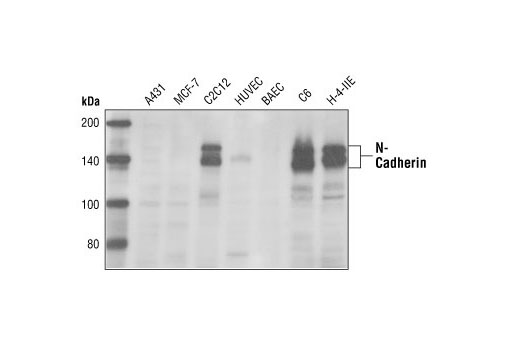 Western blot analysis of extracts from A431, MCF-7, C2C12, HUVEC, BAEC, C6 and H-4-II-E cells, using N-cadherin Antibody.