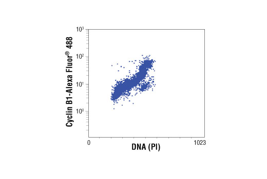 Flow cytometric analysis of untreated Jurkat cells, using Cyclin B1 (V152) (Alexa Fluor®488 Conjugate) Mouse mAb versus propidium iodide (DNA content).