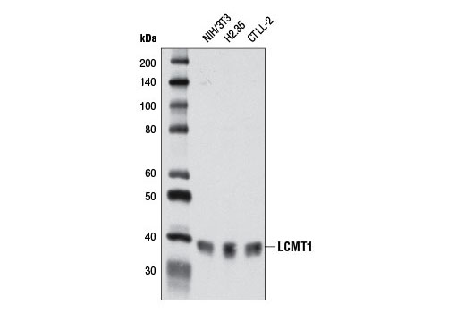 Monoclonal Antibody Immunoprecipitation Protein Amino Acid Methylation - count 9