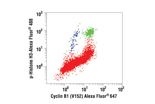 Two-color flow cytometric analysis of asynchronous Jurkat cells, using Cyclin B1 (V152) Alexa Fluor<sup>®</sup> 647 Conjugate and Phospho-Histone H3 (Ser10) Alexa Fluor<sup>®</sup> 488 Conjugate #9708. Cells represented in green are positive for cyclin B1 and phospho-histone H3, while cells represented in blue are positive for phospho-histone H3 and negative for cyclin B1. Both cell populations (green and blue) correspond to cells undergoing mitosis.