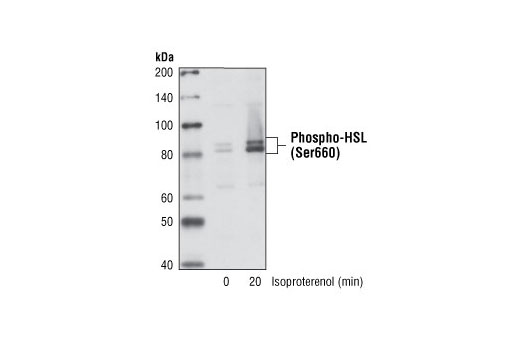 Western blot analysis of extracts from differentiated NIH/3T3-L1 cells treated with isoproterenol, using Phospho-HSL (Ser660) Antibody.