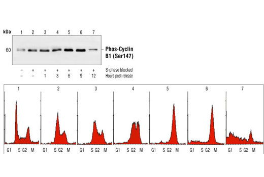 Western blot analysis of extracts from asynchronous cells (lane 1), S-phase and G2/M blocked cells (lane 2), or synchronized cells collected at various time points following release from this block (lanes 3-7) using Phospho-Cyclin B1 (Ser147) Antibody (upper). Cell cycle synchronization was verified by flow cytometric analysis of DNA content (lower). (Data kindly provided by Ethan Kohn and Alan Eastman, Dartmouth Medical School, Hanover, NH).