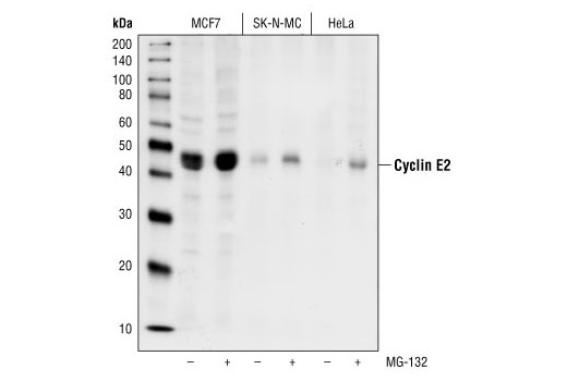 Human Cyclin-Dependent Protein Kinase Regulator Activity