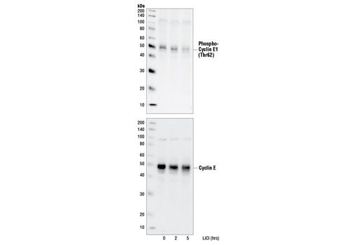Western blot analysis of extracts from 293 cells, treated with 10 mM LiCl for the indicated times, using Phospho-Cyclin E1 (Thr62) Antibody (upper) or a cyclin E antibody (lower).