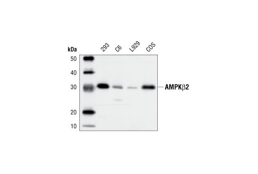 Western blot analysis of extracts from 293, C6, L929 and COS cells, using AMPKβ2 Antibody.