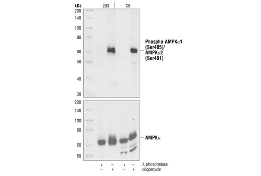 Polyclonal Antibody Western Blotting Fatty Acid Oxidation