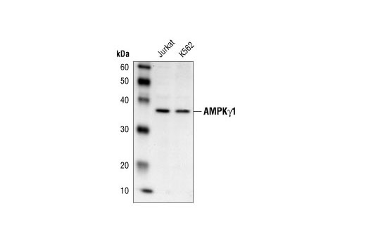 Antibody Sampler Kit Rhythmic Process