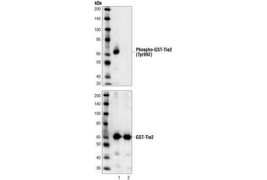 Western blot analysis of extracts from Sf9 cells over expressing GST-human Tie2 kinase domain fusion proteins, wild-type (lane 1) or kinase-dead (lane 2), using Phospho-Tie2 (Tyr992) Antibody (upper) or Tie2 antibody (lower). The wild-type Tie2 kinase domain is constitutively phosphorylated when overexpressed in Sf9 cells. The molecular weight of GST-Tie2 fusion is approximately 65 kDa.