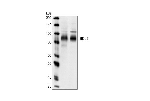 Polyclonal Antibody Regulation of Memory t Cell Differentiation