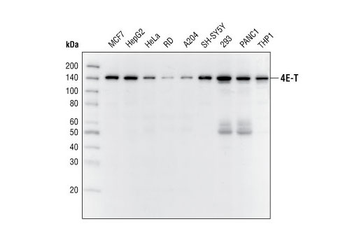 Polyclonal Antibody Immunoprecipitation Negative Regulation of Neuron Differentiation - count 20