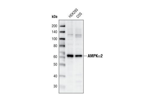 Western blot analysis of extracts from HEK293 and COS cells, using AMPKα2 Antibody.