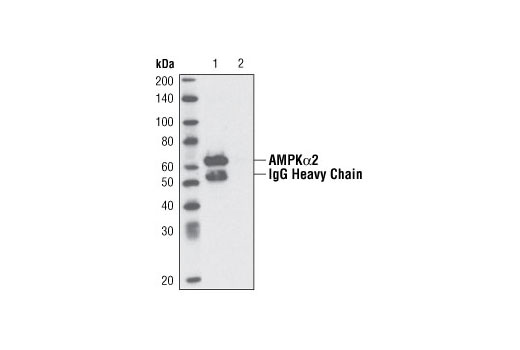 Immunprecipitation of AMPK alpha 2 from 293 cell extracts using AMPK alpha 2 antibody (Lane 1). Lane 2: No antibody control.