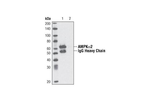 Immunprecipitation of AMPK alpha 2 from 293 cell extracts using AMPK alpha 2 antibody (Lane 1). Lane 2: No antibody control.