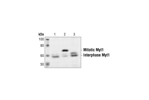 Polyclonal Antibody Immunohistochemistry Paraffin Regulation of Cell Cycle