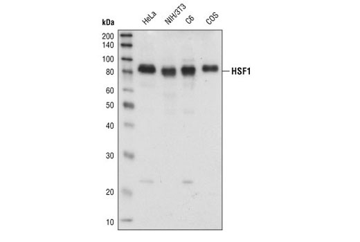Western blot analysis of extracts from HeLa, NIH/3T3, C6 and COS cells, using HSF1 antibody.