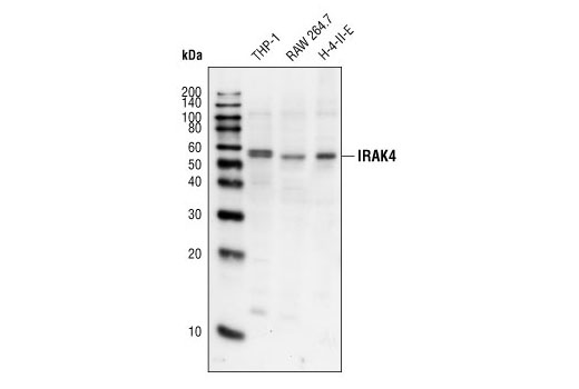 Western blot analysis of extracts from THP-1 (human), RAW 264.7 (mouse), and H-4-II-E (rat) cell lines, using IRAK4 Antibody.