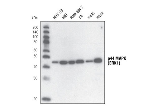 Western blot analysis of extracts from NIH/3T3, MEF, RAW 264.7, C6, H4IIE and KNRK cells using p44 MAP Kinase Antibody.