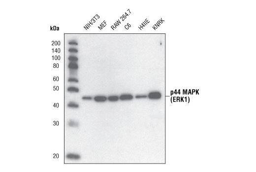 Polyclonal Antibody MAP Kinase Activity