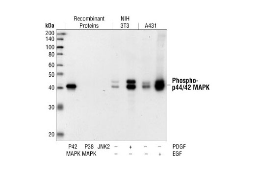 Western blot analysis of active p42 MAP Kinase, active p38 MAPK and active JNK2 proteins, as well as extracts from PDGF-treated NIH/3T3 cells and EGF-treated A431 cells, using Phospho-p44/42 MAPK (Erk1/2) (Thr202/Tyr204) (20G11) Rabbit mAb.
