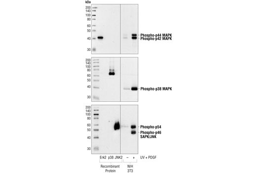 Western blot analysis of purified MAPK phospho-proteins or extracts from NIH/3T3 cells treated with UV light and PDGF, using Phospho-p44/42 MAPK (Erk1/2) (Thr202/Tyr204) (197G2) Rabbit mAb (upper), Phospho-p38 MAPK (Thr180/Tyr182) (3D7) Rabbit mAb #9215 (middle), and Phospho-SAPK/JNK (Thr183/Tyr185) (98F2) Rabbit mAb #4671 (lower).