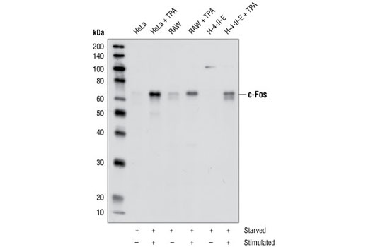 Western blot analysis of extracts from HeLa, RAW, and H-4-IIE cells serum-starved overnight and TPA-stimulated for 4 hours, using c-Fos Antibody.