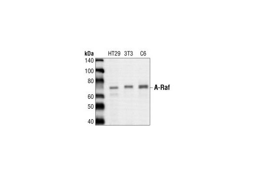Western blot analysis of extracts from HT-29, NIH-3T3 and C6 cell lysates, using A-Raf Antibody.