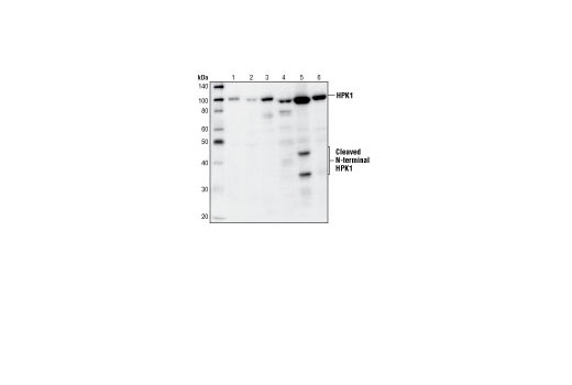 Western blot analysis of extracts from Jurkat (1), U-937 (2), THP1 (3), Raw 264.7 (4), WEHI 231 (5), and Ramos cells (6), using HPK1 Antibody.