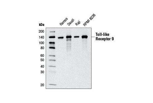 Western blot analysis of extracts from various cell lines using Toll-like Receptor 9 (D2C9) Rabbit mAb.