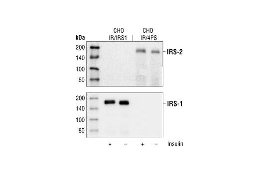 Polyclonal Antibody - IRS-2 Antibody - Western Blotting, UniProt ID Q9Y4H2, Entrez ID 8660 #4502 - #4502