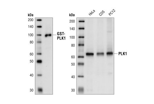 Western blot analysis of GSK-PLK1 fusion protein and extracts from HeLa, COS and PC12 cells, using PLK1 (208G4) Rabbit mAb.