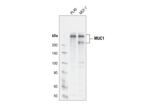 Western blot analysis of extracts from PL45 and MCF-7 cells using MUC1 (VU4H5) Mouse mAb.