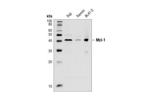 Western blot analysis of extracts from Raji, Ramos and BL41-3 (a subline of BL41 Burkitt lymphoma cells found to have amplified expression of Mcl-1) cells, using Mcl-1 Antibody.
