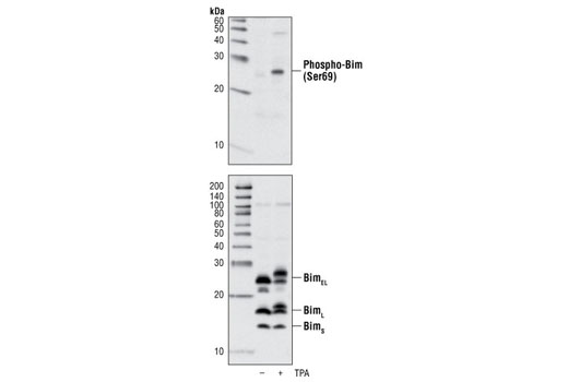 Western blot analysis of extracts from Raji cells, untreated or TPA-treated for 30 min, using Phospho-Bim (Ser69) Antibody (upper), or Bim Antibody #2819 (lower).